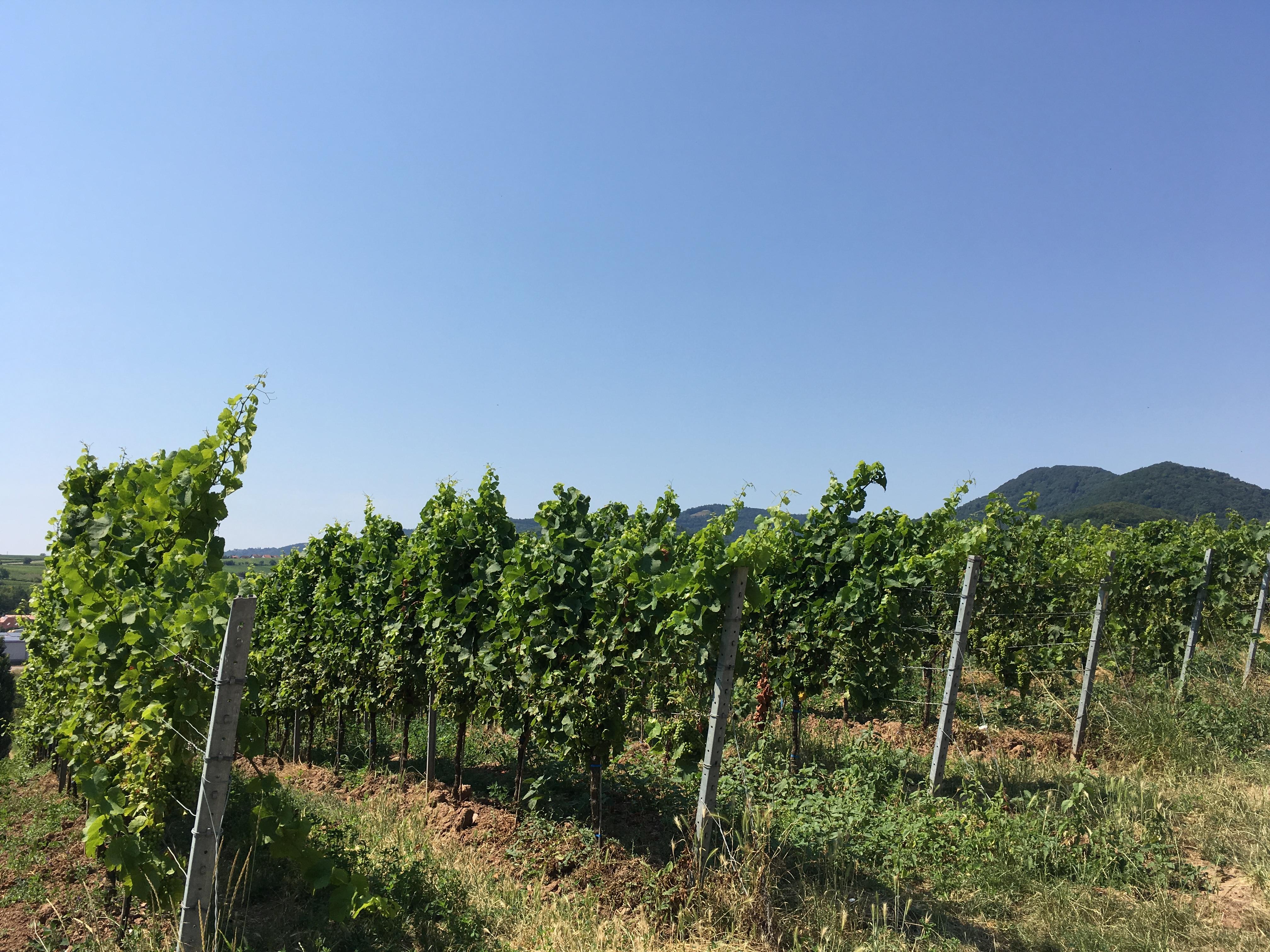 WineyardSiebeldingen2